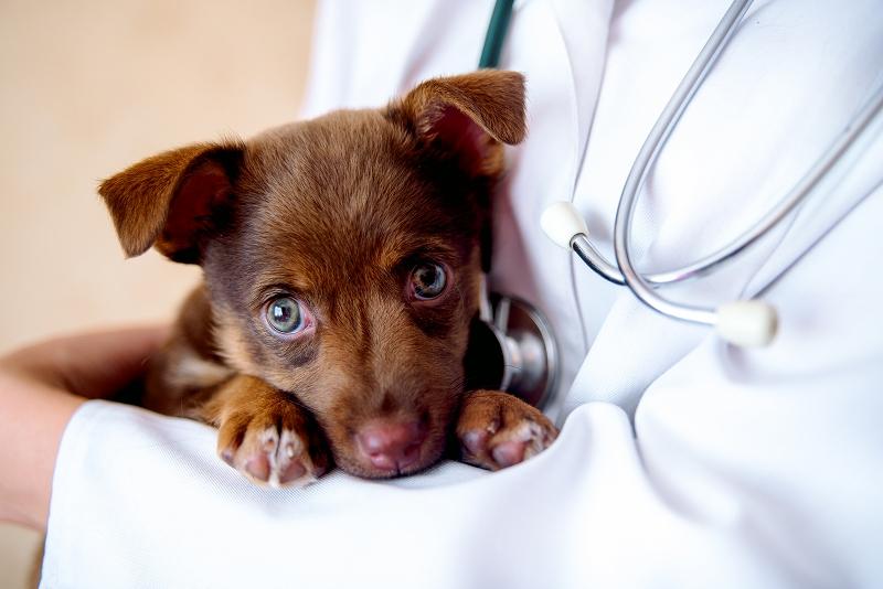 フィラリアとは何か? 犬に予防接種をして脅威を防ごう