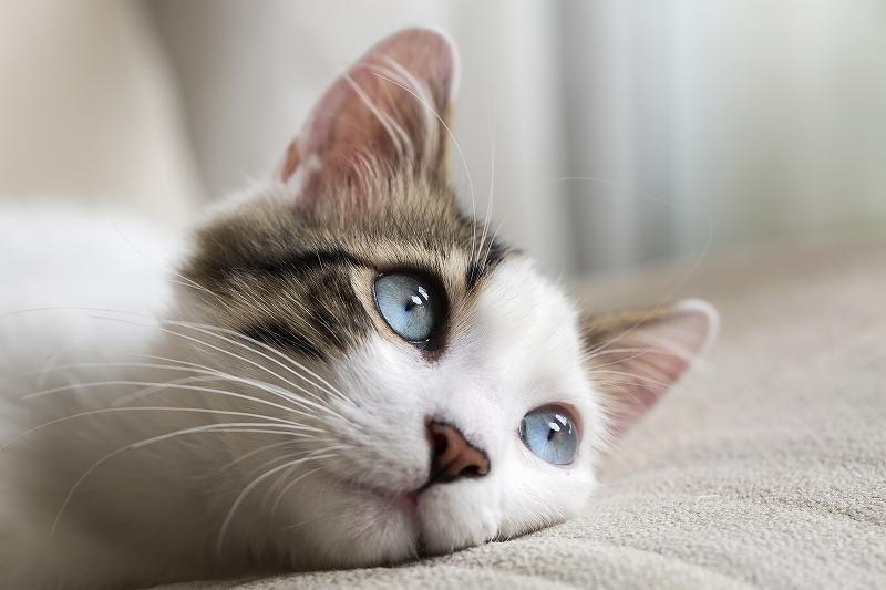 猫の歯科処置の内容とは|全身麻酔、アフターケア、抜歯の有無など